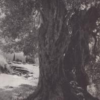 Дельфы. Мармария, оливковое дерево у гимнасия